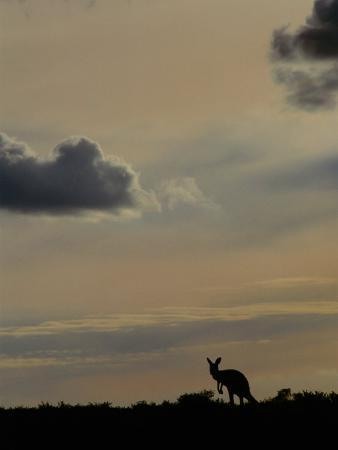 Red Kangaroo Silhouetted on Rise, Sturt National Park, New South Wales, Australia
