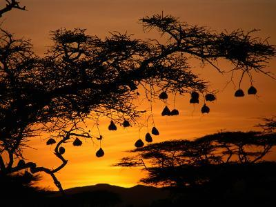 Nests of Spectacled Weaver Hanging from Acacia Trees, Buffalo Springs National Reserve, Kenya