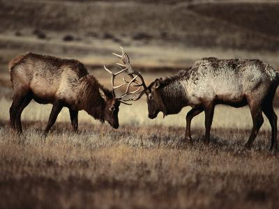 Sparring Bull Elk (Cervus Elaphus), Yellowstone National Park, Wyoming, USA