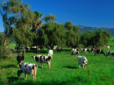 Dairy Cattle Grazing on Property Between Towns of Berry and Kiama, New South Wales, Australia
