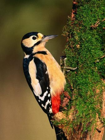 Male Great Spotted Woodpecker (Dendrocopos Major), United Kingdom