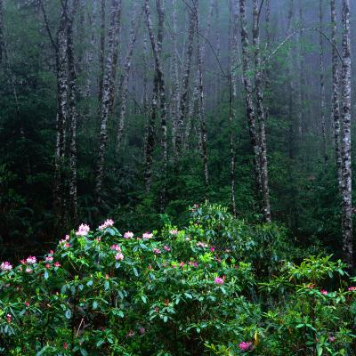 Rhododendren and Western Hemlock Forest in the Del Norte Region, Redwood Nat. Park, California, USA