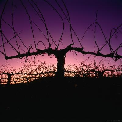 Chardonnay Cordon at Sunset on the Walker Ranch in the Napa Valley, California, USA