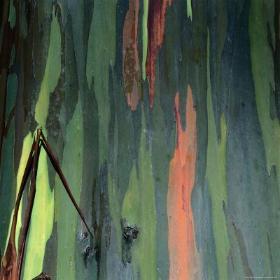 Detail of Eucalyptus Tree Bark, Haleakala National Park, Maui, Hawaii, USA