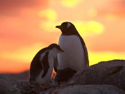 Gentoo Penguin and Chick, Antarctica