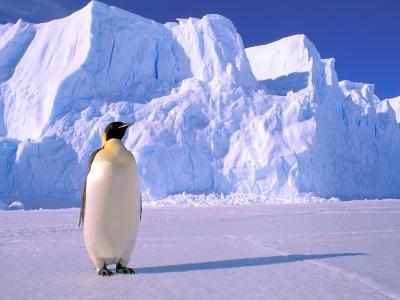 Emperor Penguins, Cape Darnley, Australian Antarctic Territory, Antarctica