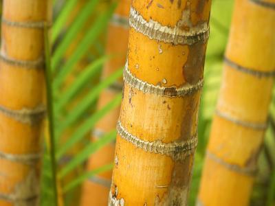 Bamboo Stems, Queensland Australia