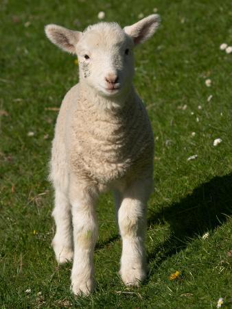 New Lamb, South Island, New Zealand