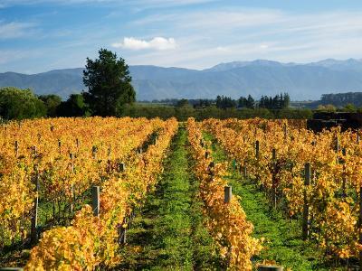 Schubert Vineyard, Martinborough, Wairarapa, North Island, New Zealand