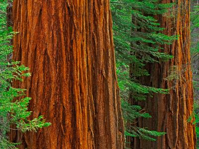 Giant Sequoia Trunks in Forest, Yosemite National Park, California, USA
