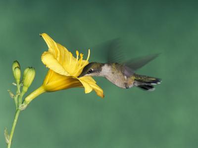 Female Ruby-Throated Hummingbird Feeding in Flight