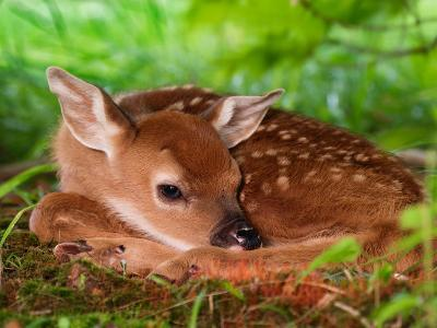 White-tailed Deer Baby, Kentucky