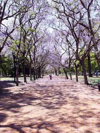 Jacarandas Trees Bloom in City Parks, Parque 3 de Febrero, Palermo, Buenos Aires, Argentina