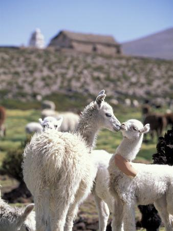Mother and Baby Alpaca with Catholic Church in the Distance, Village of Mauque, Chile