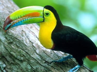 Keel Billed Toucan with a Cicada, Borro Colorado Island, Panama