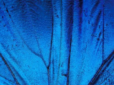 Detail of Blue Morpho Wing, Barro Colorado Island, Panama