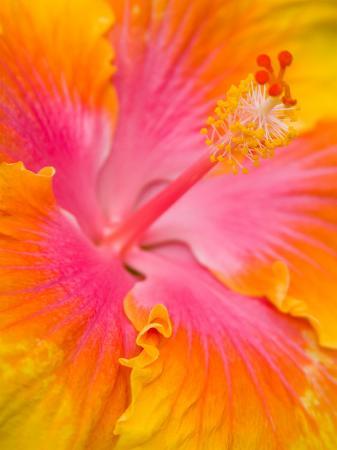 Pink and Yellow Hibiscus, San Francisco, California, USA