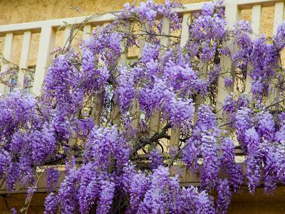 Wisteria Blooming in Spring, Sonoma Valley, California, USA