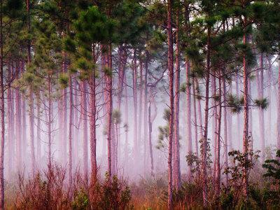 Mist Among Pine Trees at Sunrise, Everglades National Park, Florida, USA