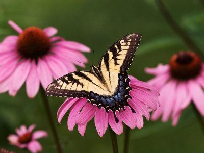 Tiger Swallowtail Butterfly on Purple Coneflower, Kentucky, USA