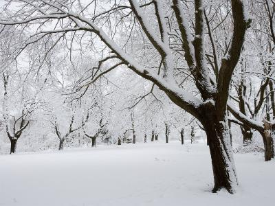 Snow-Covered Maple Trees in Odiorne Point State Park in Rye, New Hampshire, USA