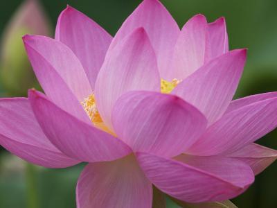 Perry's Water Garden, Lotus Blossom, Franklin, North Carolina, USA