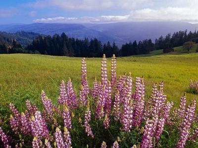 Blue-Pod Lupine in Bloom, Oregon, USA