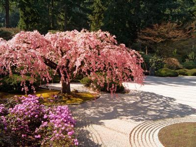 Cherry Tree Blossoms Over Rock Garden in the Japanese Gardens, Washington Park, Portland, Oregon