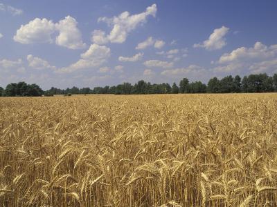 Wheat Crop, Tennessee, USA