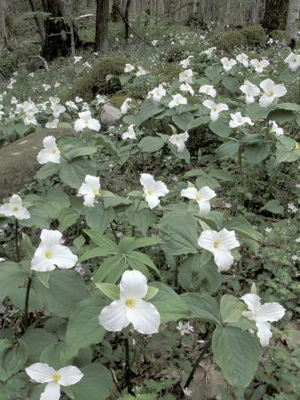 Large-Flowered Trillium, Great Smoky Mountains National Park, Tennessee, USA
