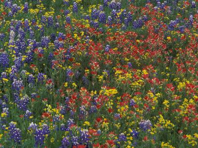 Texas Paintbrush and Bluebonnets with Low Bladderpod, Hill Country, Texas, USA