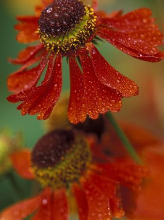 Sneeze Weed Flower Bloom, Sammamish, Washington, USA