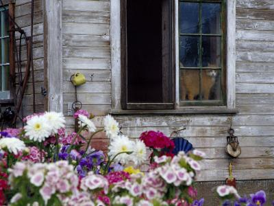 Old Barn with Cat in the Window, Whitman County, Washington, USA