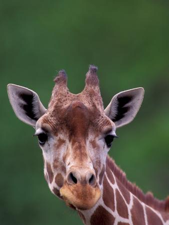 Reticulated Giraffe, Impala Ranch, Kenya