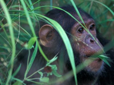 Female Chimpanzee Rolls the Leaves of a Plant, Gombe National Park, Tanzania