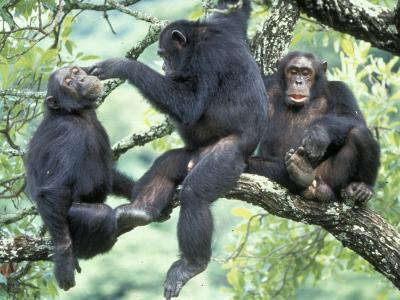 Male Chimpanzee Grooms His Brother, Gombe National Park, Tanzania