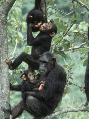 Jane Goodall Chimp Personalities Studied in Gombe Stream