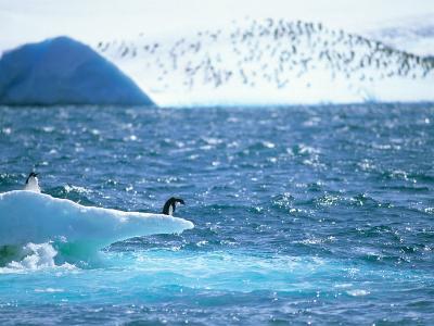 Adelie Penguin Strolls across Rocky Beach, Antarctic Peninsula