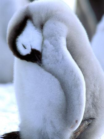 Emperor Penguins, Atka Bay, Weddell Sea, Antarctic Peninsula, Antarctica