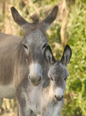 Mother and Baby Donkeys on Salt Cay Island, Turks and Caicos, Caribbean