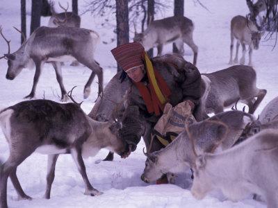 Farmer Feeds Reindeer, Lappland, Finland