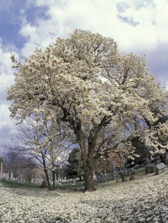 Yulan Magnolia Tree and Blossoms, Louisville, Kentucky, USA