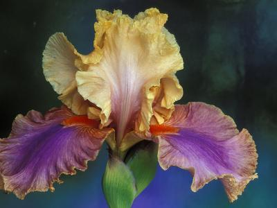 Bearded Iris, Rochester, Michigan, USA