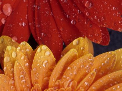 Gerbera with Water Drops