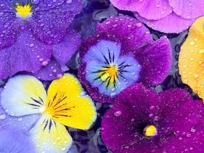 Pansy Flowers Floating in Bird Bath with Dew Drops, Sammamish, Washington, USA