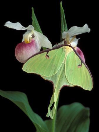 Luna Moths on Showy Lady Slipper, Wilderness State Park, Michigan, USA
