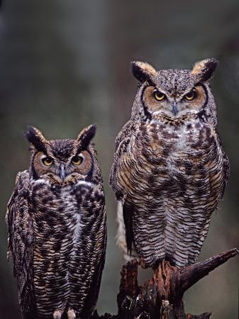 Great Horned Owls, Washington, USA