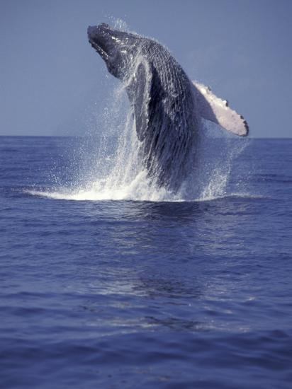 Humpback Whale Breaching Photographic Print By Michele