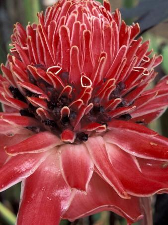 Ginger Flower in Bloom, Napo River Region, Peru
