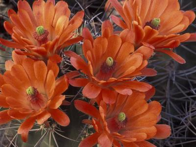 Claret Cup Cactus Flowers, San Xavier, Arizona, USA
